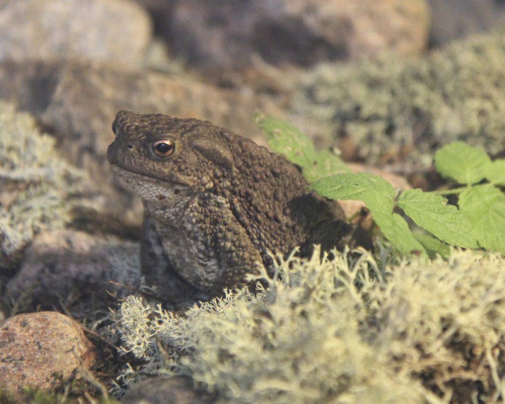 Rupikonna istuu jäkälien ja kivien seassa.